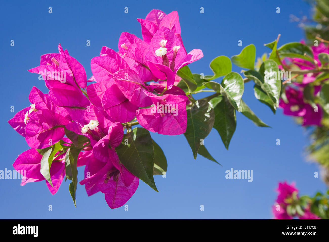 Bougainvillea flowers against a blue sky - Stock Image