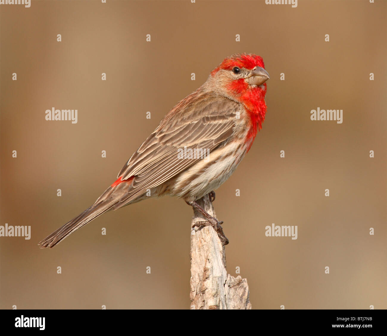 A male House Finch perched in breeding colors in Colorado Stock