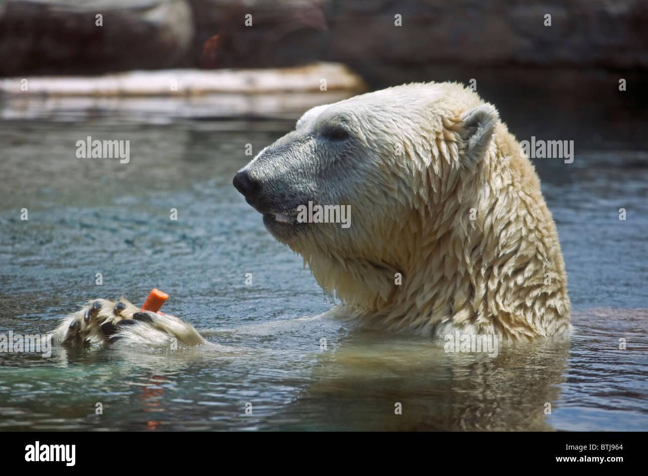 A POLAR BEAR (Ursus maritimus) in a pool at the SAN DIEGO ZOO - CALIFORNIA - Stock Image
