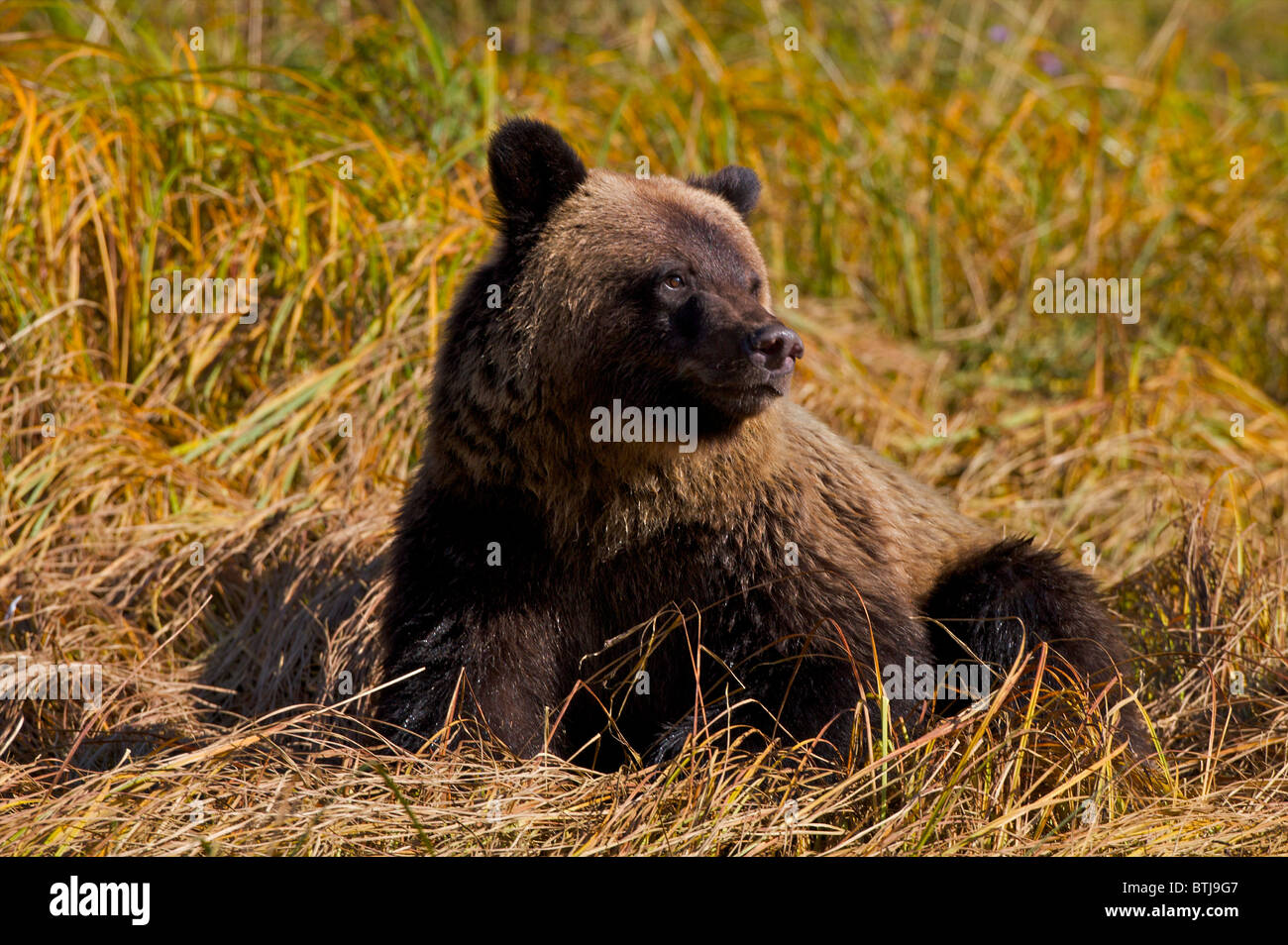 Grizzly bear (Ursus arctos horribilis) British Columbia Canada Stock Photo