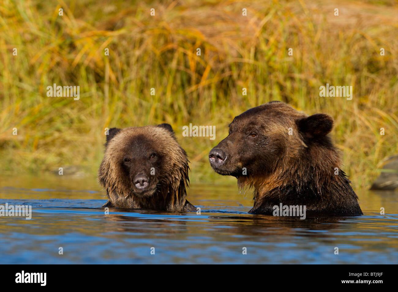 Grizzly bear (Ursus arctos horribilis) British Columbia Canada Stock Photo