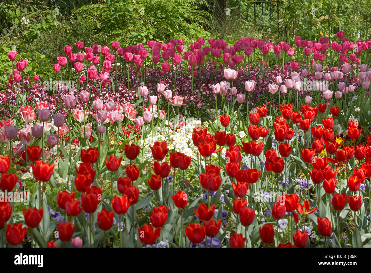Tulips, St. James's Park, London, England, United Kingdom - Stock Image