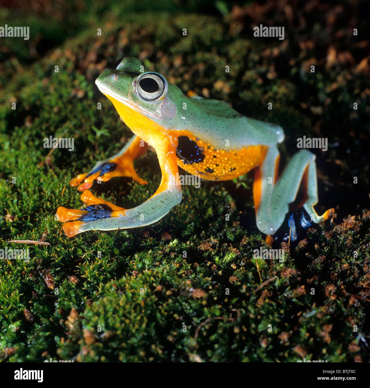 Flying Frog (Rhacophorus sp.) on moss. - Stock Image