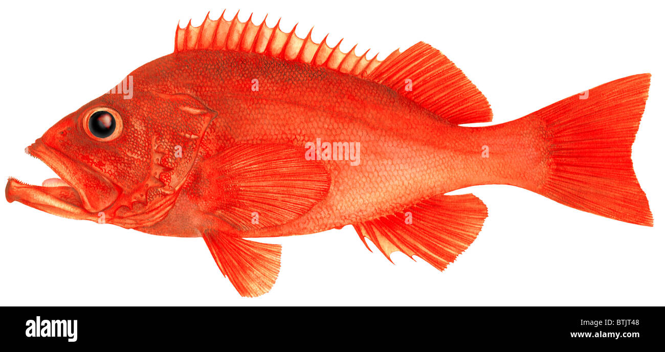Rose fish ocean perch sebastes marinus drawing stock for Ocean perch fish