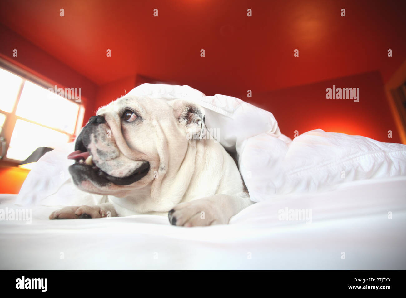 happy  bull dog laying on bed under covers Stock Photo
