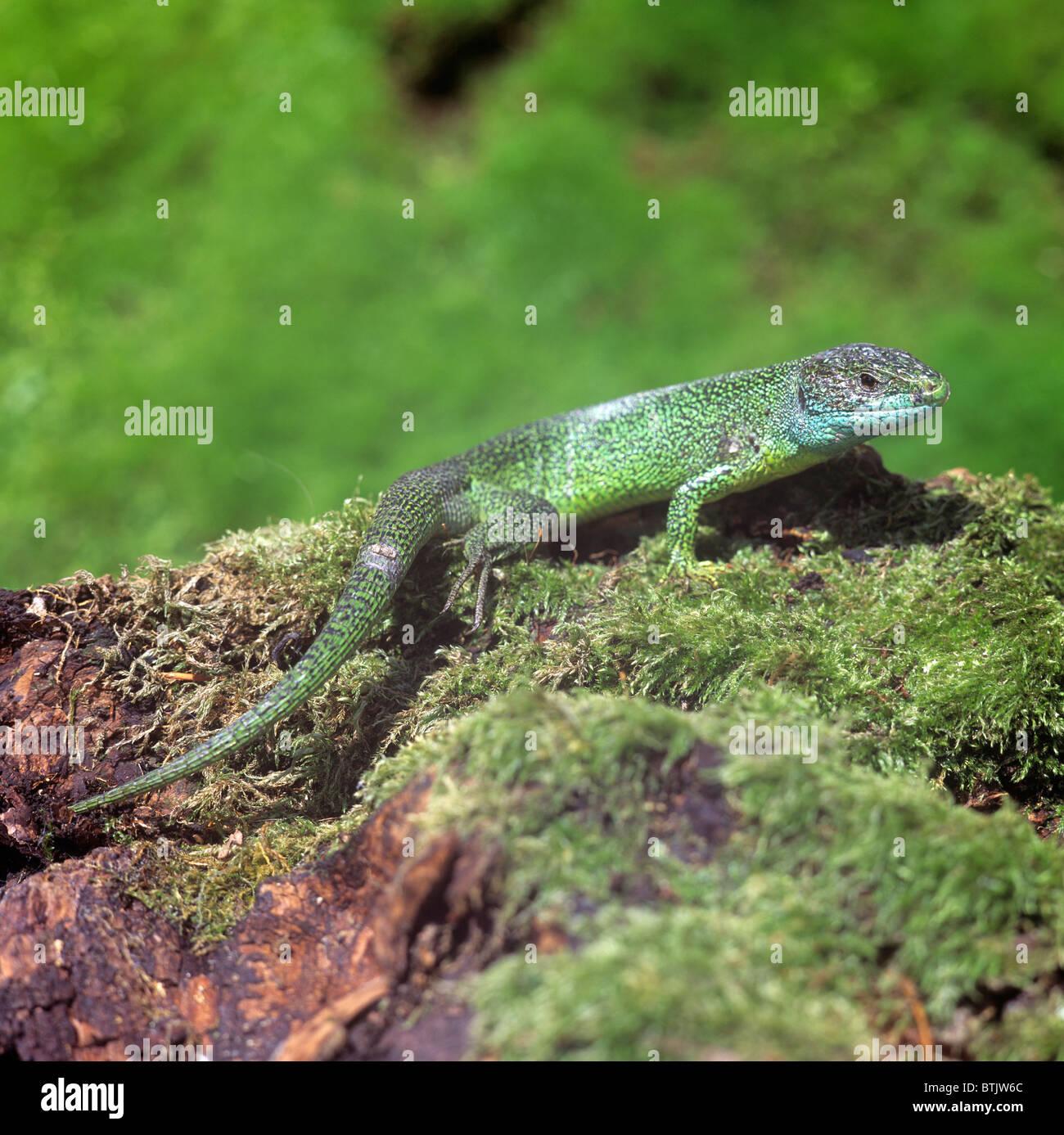 European Green Lizard (Lacerta viridis), male on mossy log. - Stock Image