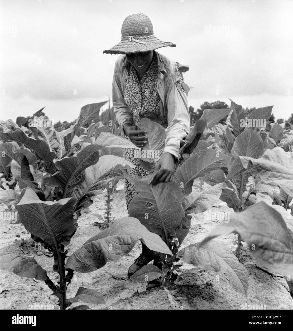 African American woman farming, original caption: 'Daughter of Negro sharecropper goes up and down the rows - Stock Image