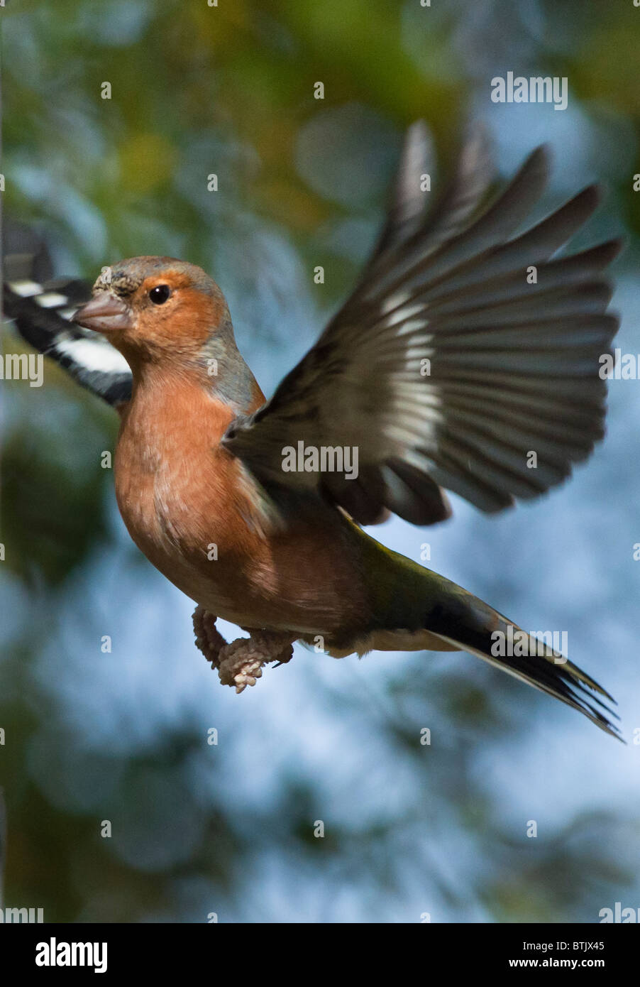 Male Chaffinch in flight - Stock Image