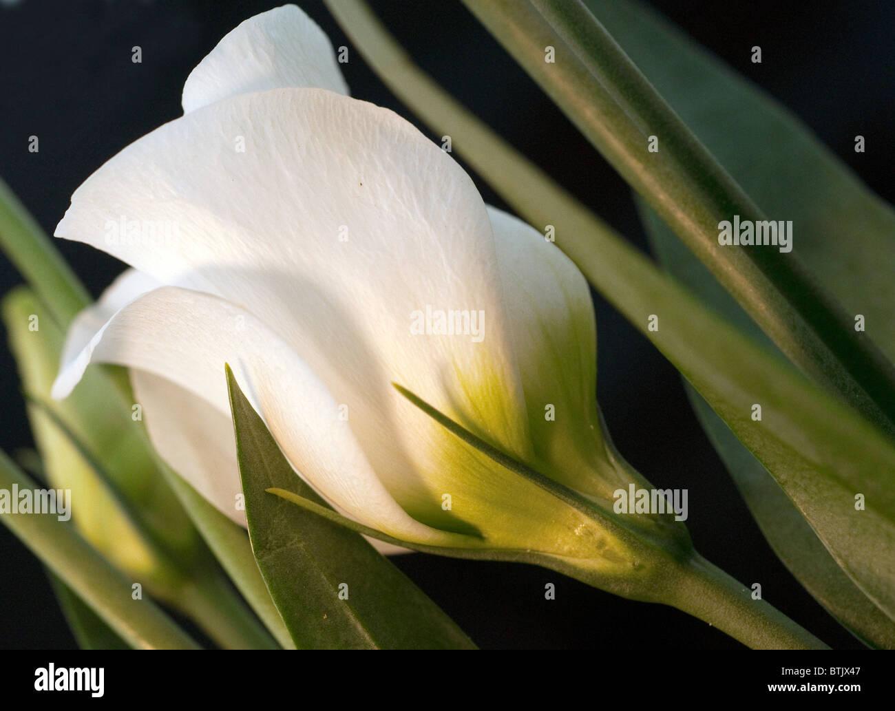 Macro image of ivory white flower Stock Photo