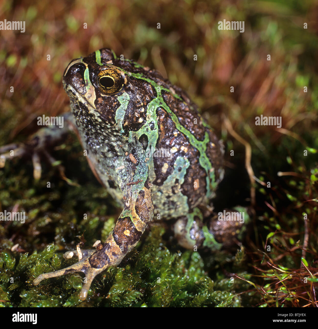 Green Burrowing Frog, Marbled Rain Frog (Scaphiophryne marmorata) on moss. A nocturnal Madagasy frog. - Stock Image