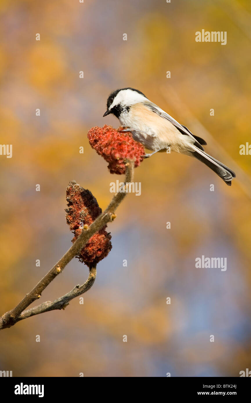 Black-capped Chickadee (poecile atricapilla) on a branch with a colorful background - Stock Image