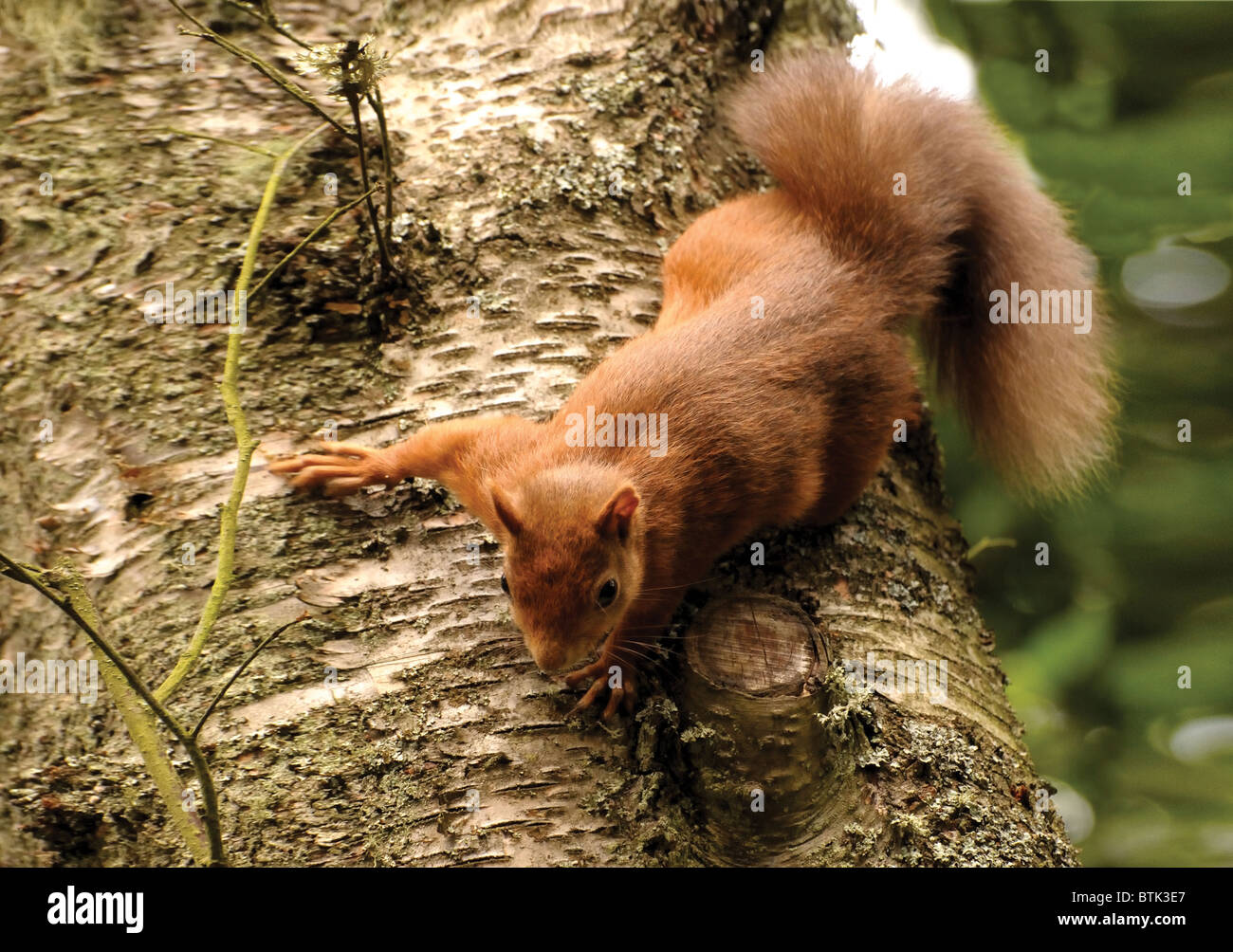 Red Squirrel on Silver Birch Tree - Stock Image