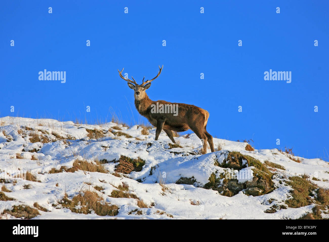 Red Deer Stag in snow - Stock Image