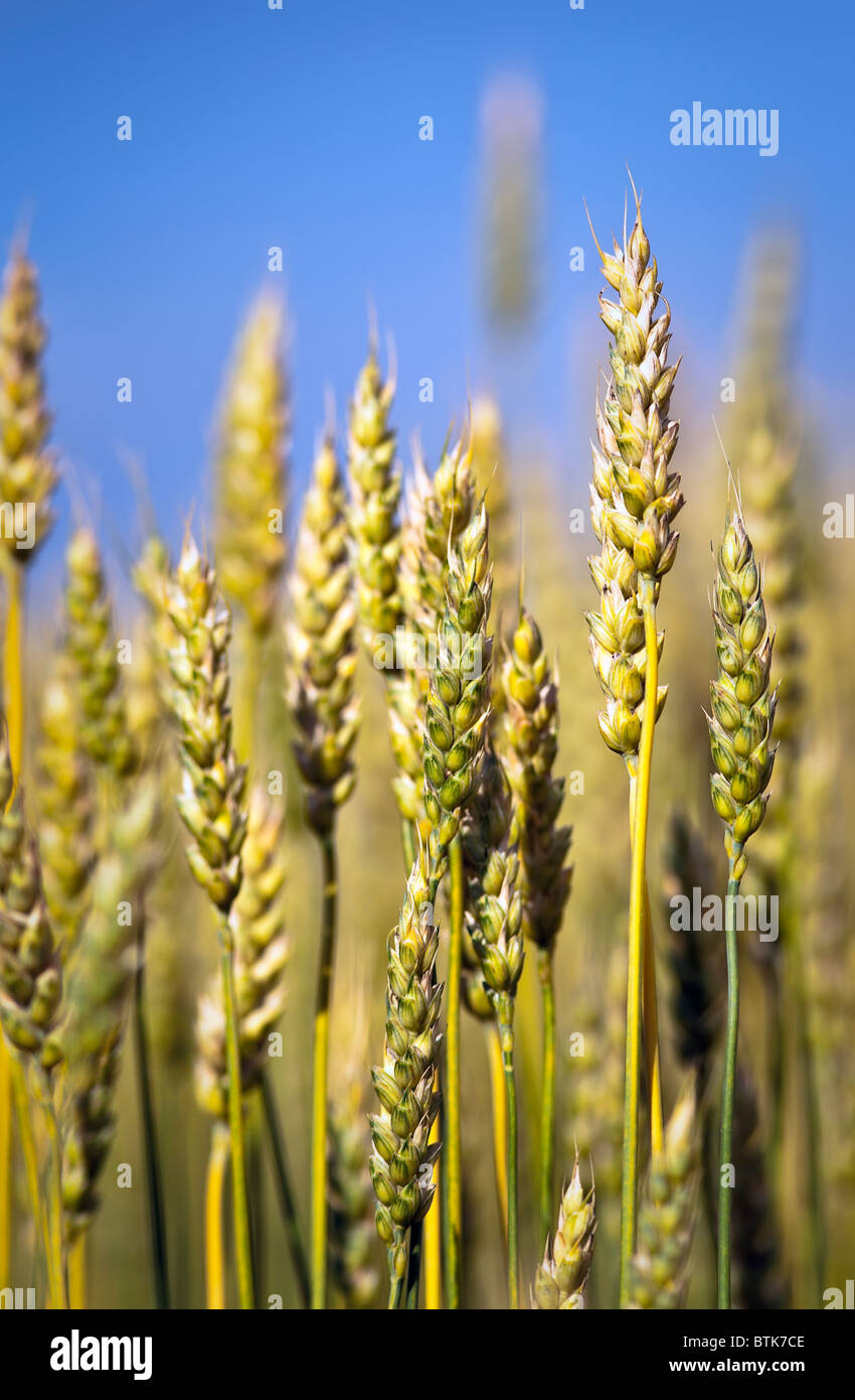 Close up of wheat crop.  Pembina Valley, Manitoba, Canada. - Stock Image