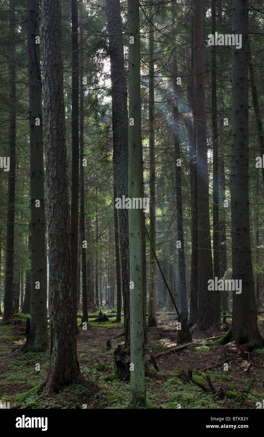 Coniferous stand of Bialowieza Forest in morning with pine and spruce - Stock Image