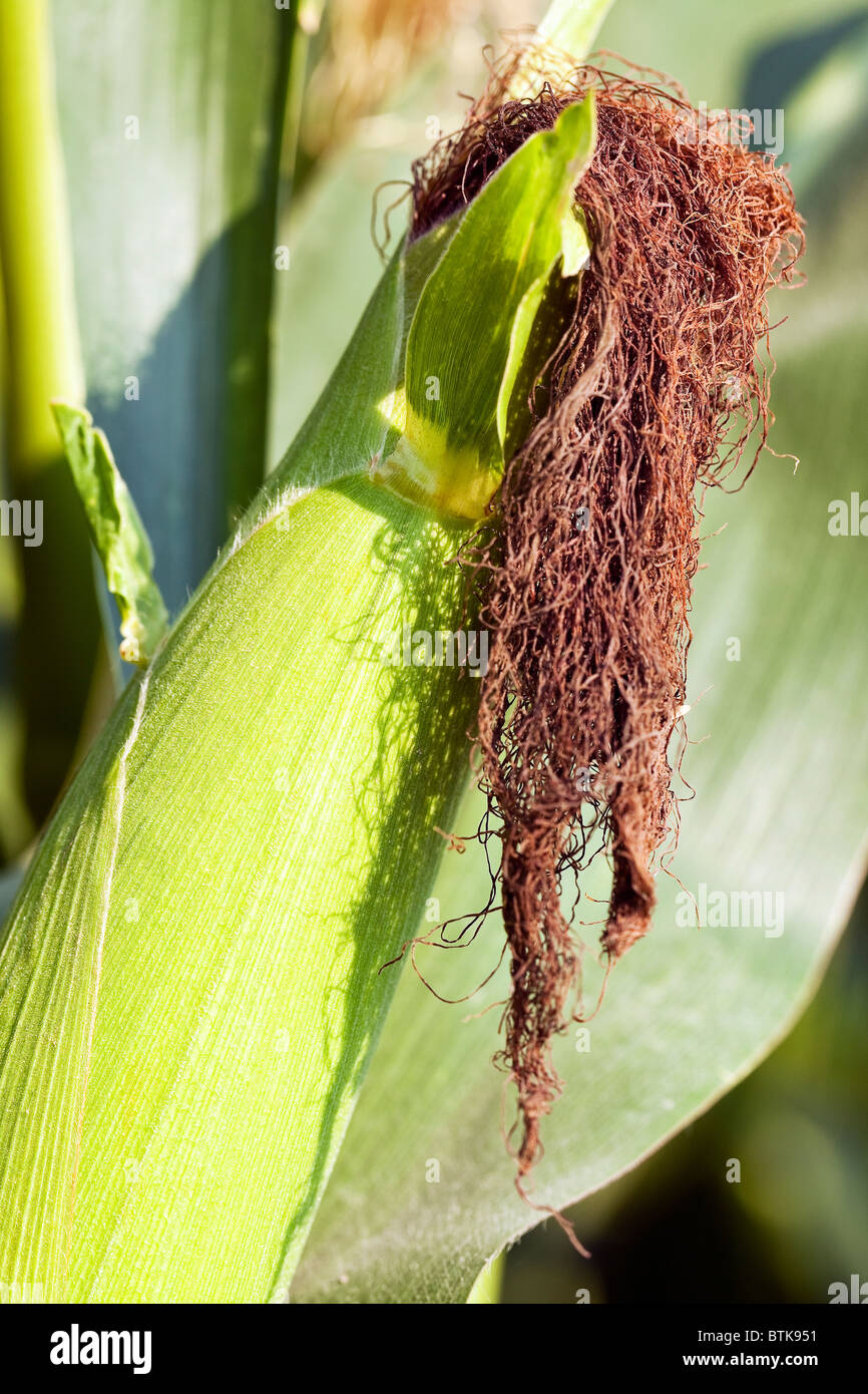 Mature, harvest ready ear of corn, showing the husk and silk.  Manitoba, Canada. - Stock Image
