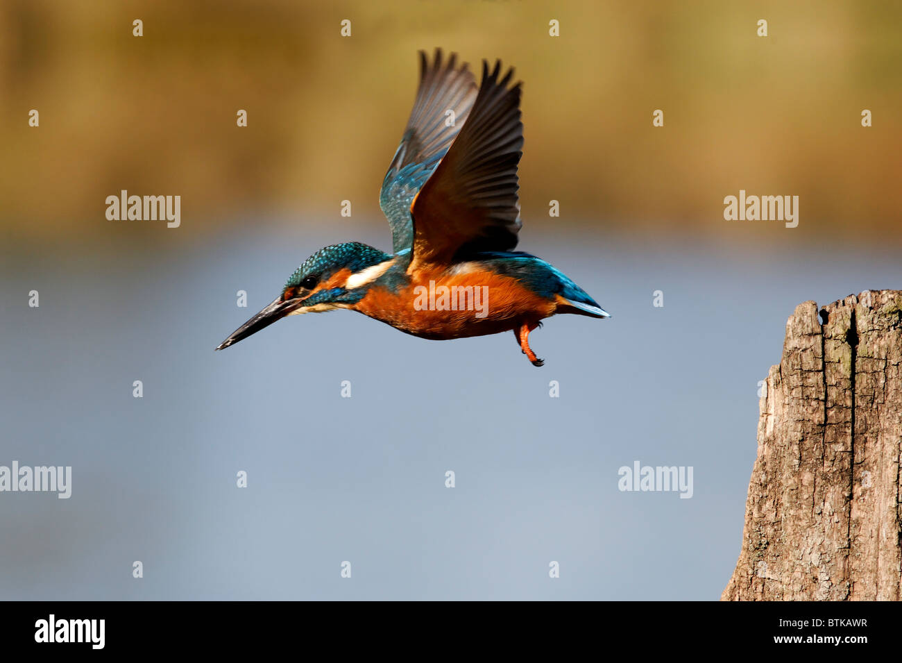 Kingfisher, Alcedo atthis, single bird in flight, Midlands, October 2010 - Stock Image