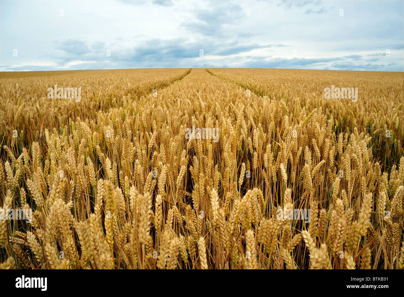 WHEATFIELD OR FIELD OF GROWING WHEAT - Stock Image