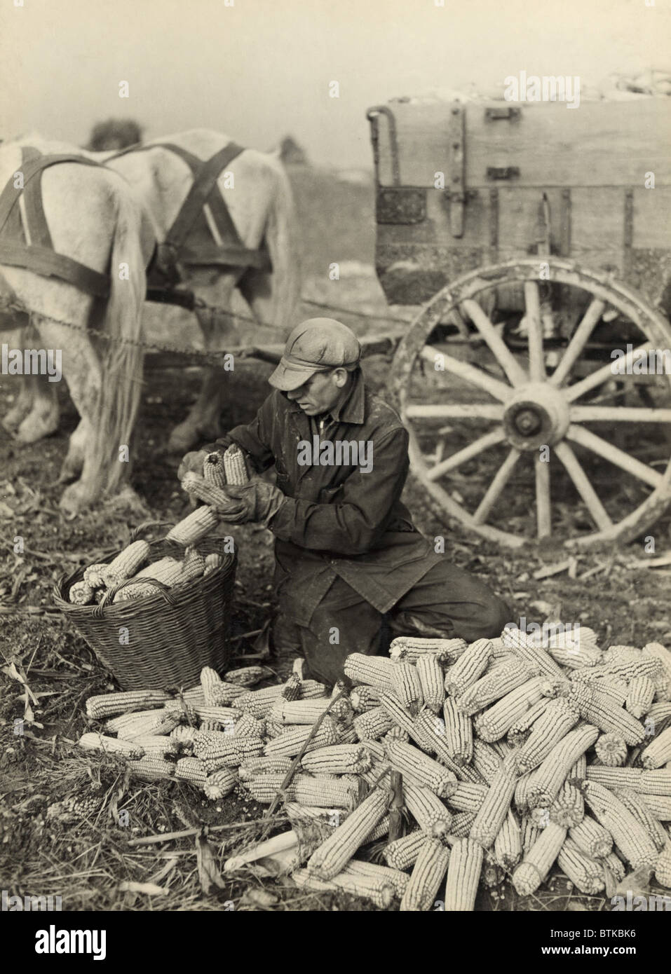 Farmer collecting husked corn to load into a horse drawn wagon in Washington County, Maryland. Roosevelt's farm - Stock Image