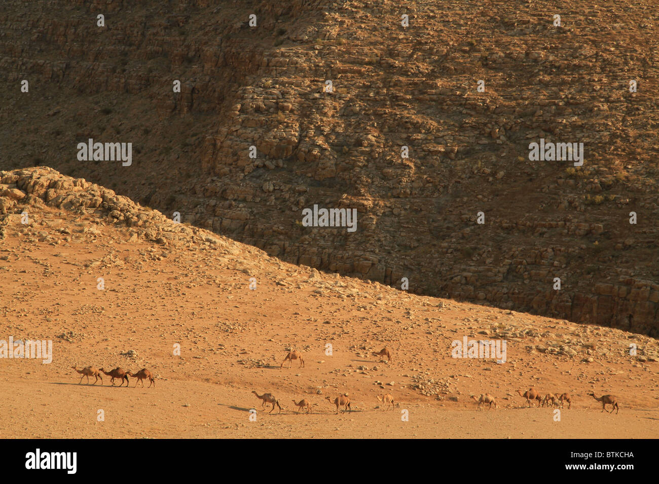 Samaria, camels at the foothill of the Horn of Sartaba - Stock Image