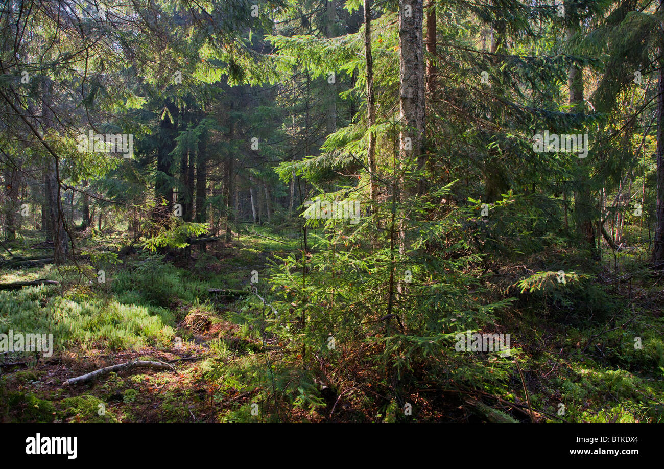 Late summer coniferous stand taiga like of Bialowieza Forest Landscape Reserve in morning - Stock Image