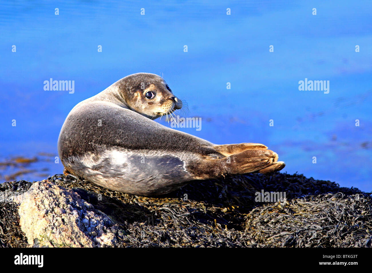 Young Common Seal on rocks - Stock Image