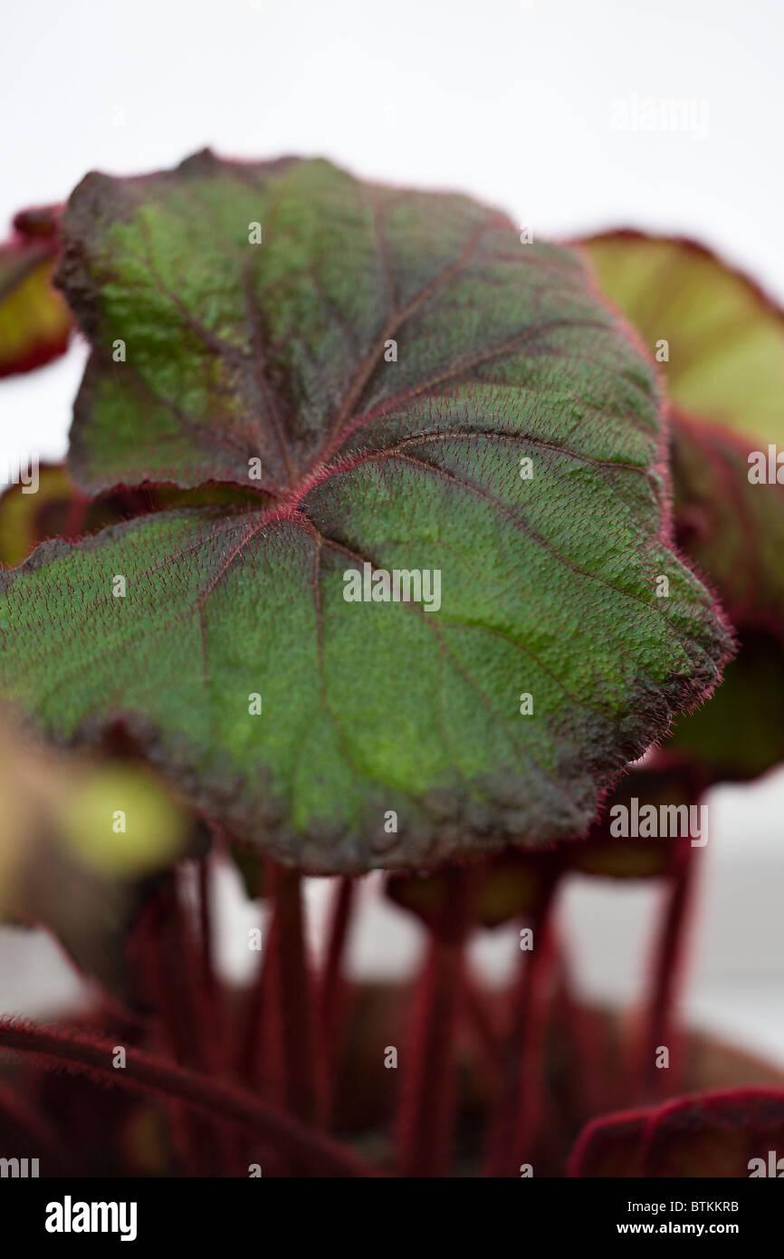 Begonia Fireflush, Rex Begonia - Stock Image