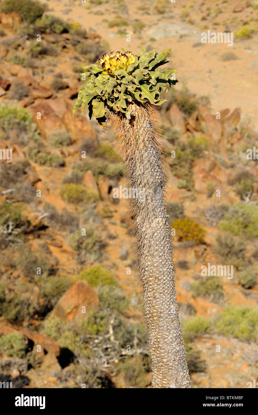 Halfmens with inflorescence in habitat, Pachypodium namaquanum, Richtersveld Transfrontier National Park, South - Stock Image