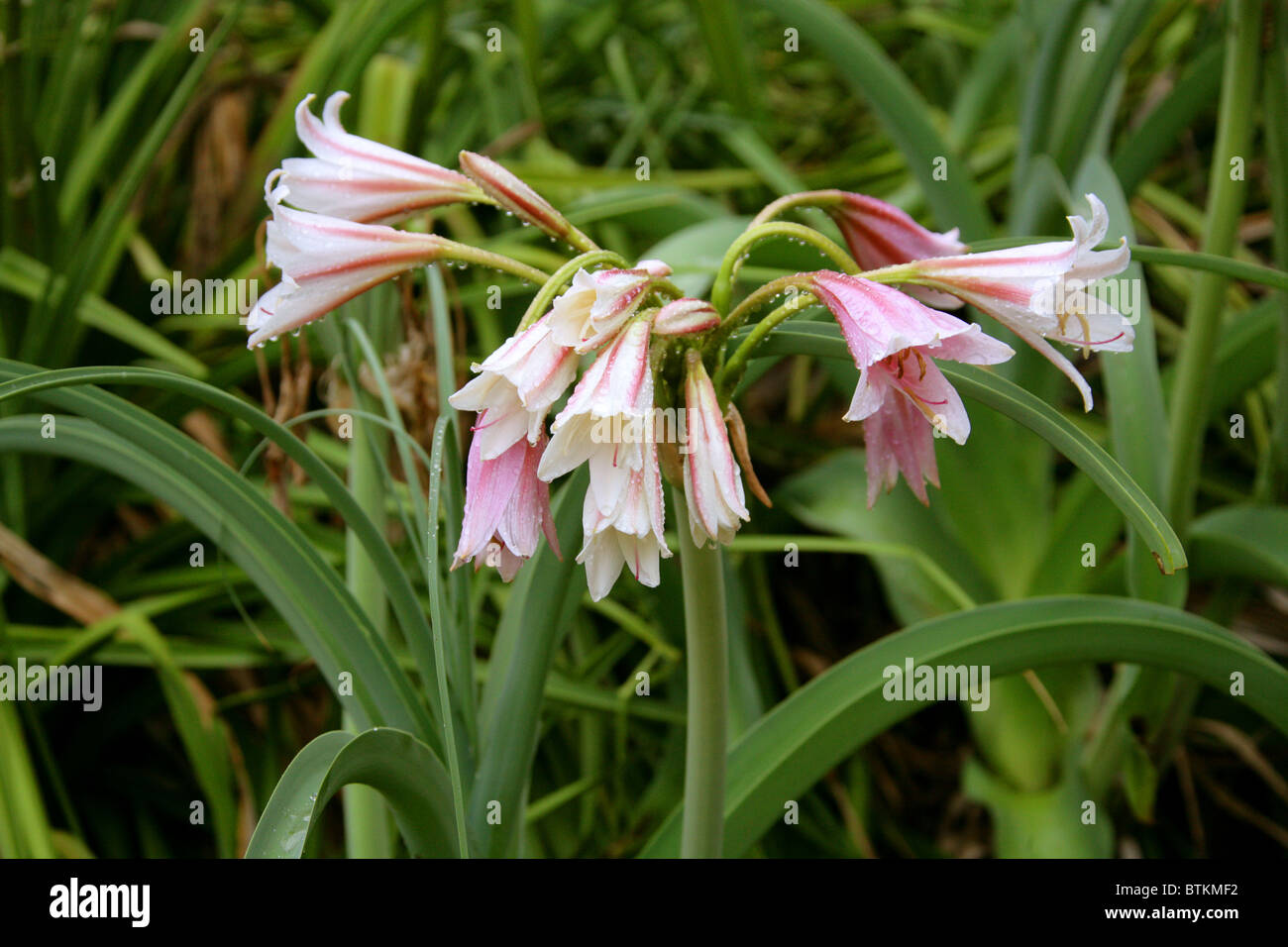 Royal Lily Stock Photos Royal Lily Stock Images Alamy
