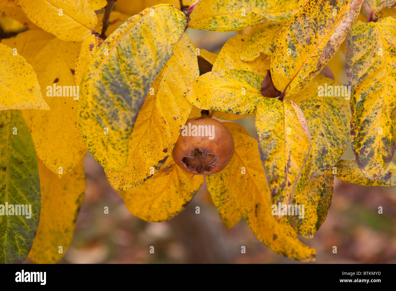 Common Medlar tree fruit. Mespilus germanica Stock Photo
