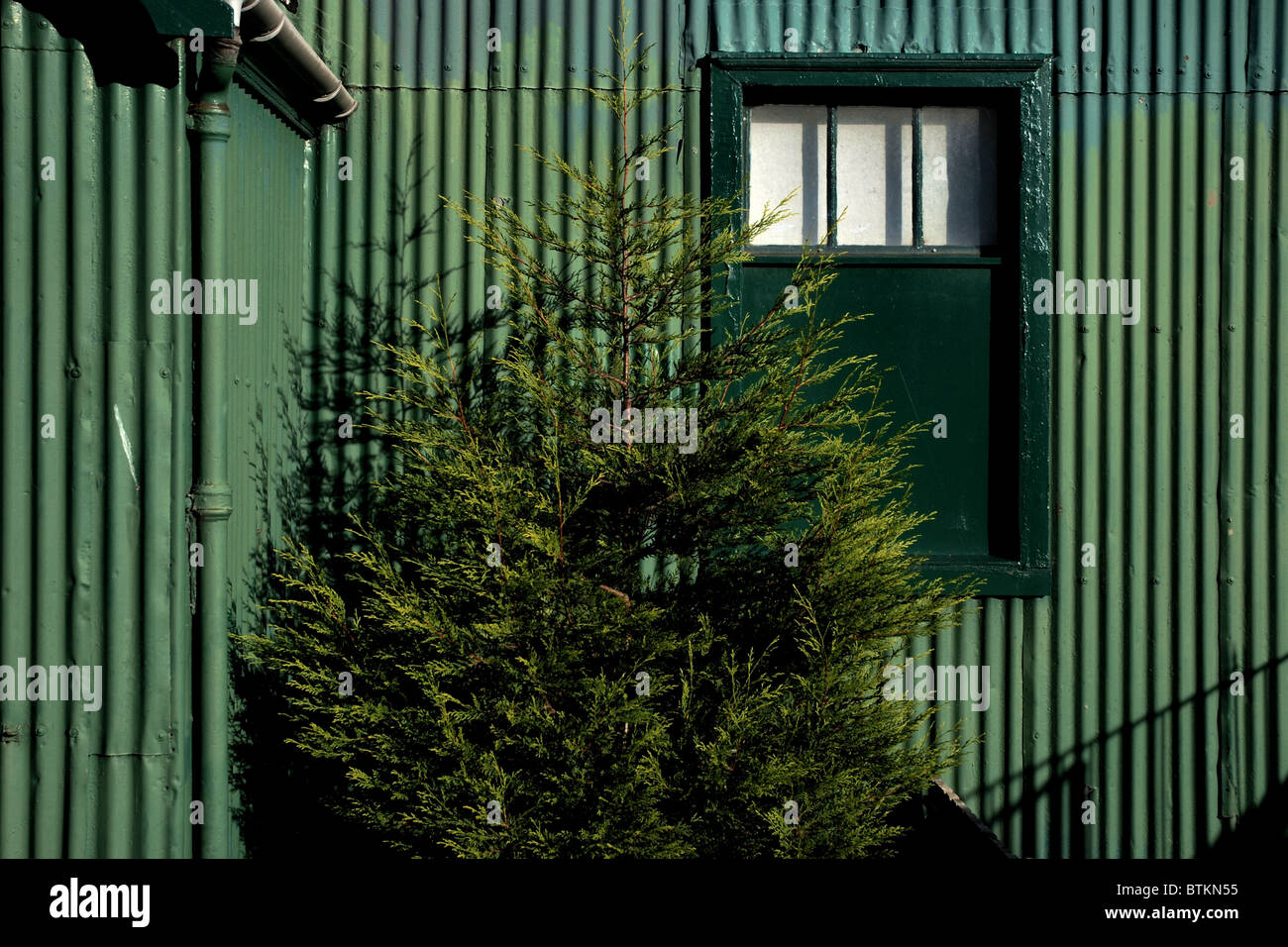 An evergreen tree standing in front of a green corrugated iron shed. - Stock Image