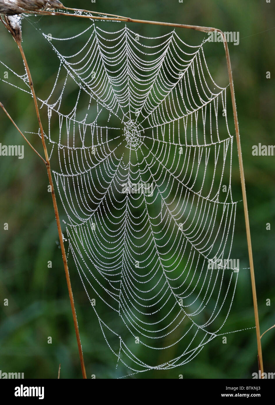 Cobweb, strung with morning dew - Stock Image
