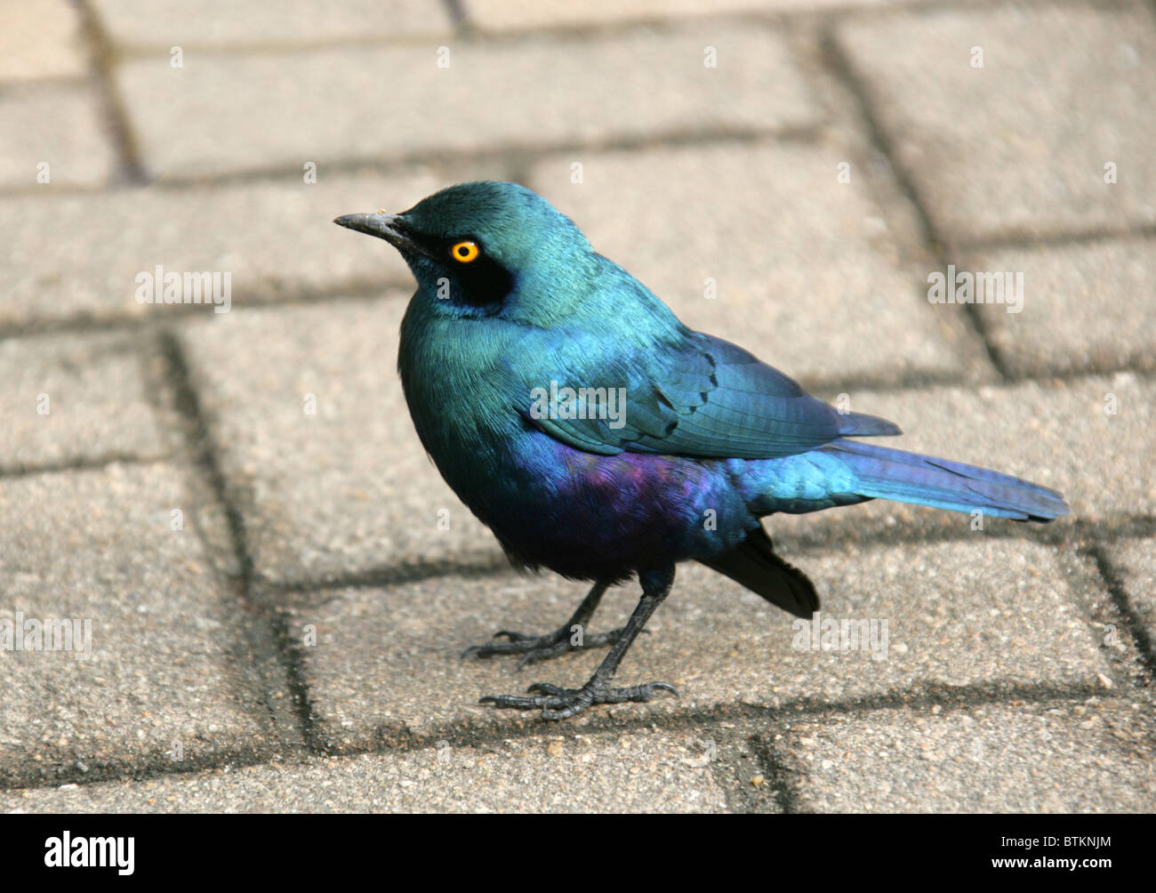 Cape Glossy Starling, Lamprotornis nitens, Sturnidae, South Africa - Stock Image