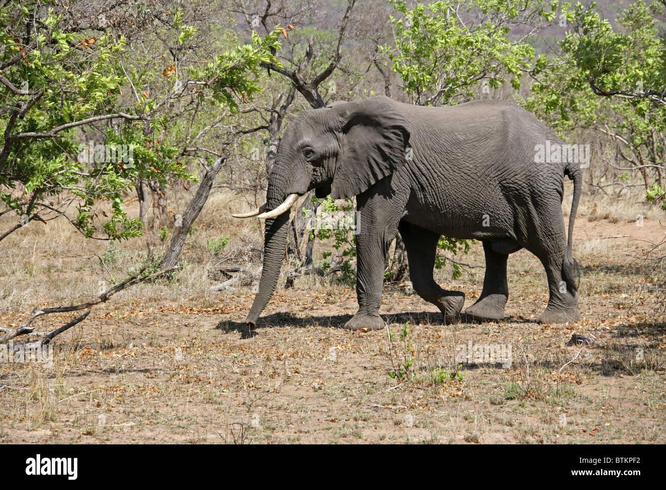 African Bush Elephant, Loxodonta africana, Elephantidae. Kruger National Park, South Africa. - Stock Image