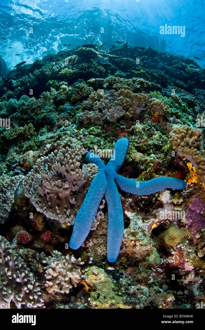 A blue seastar, Linkia laevigata, slowly climbs a diverse coral reef in Indonesia. - Stock Image