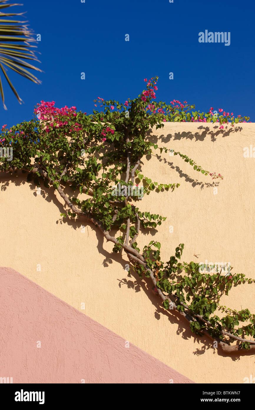 Bougainvillea (Scientific name: Bougainvillea Glabra) climbing up the wall. Crete, Greece. - Stock Image