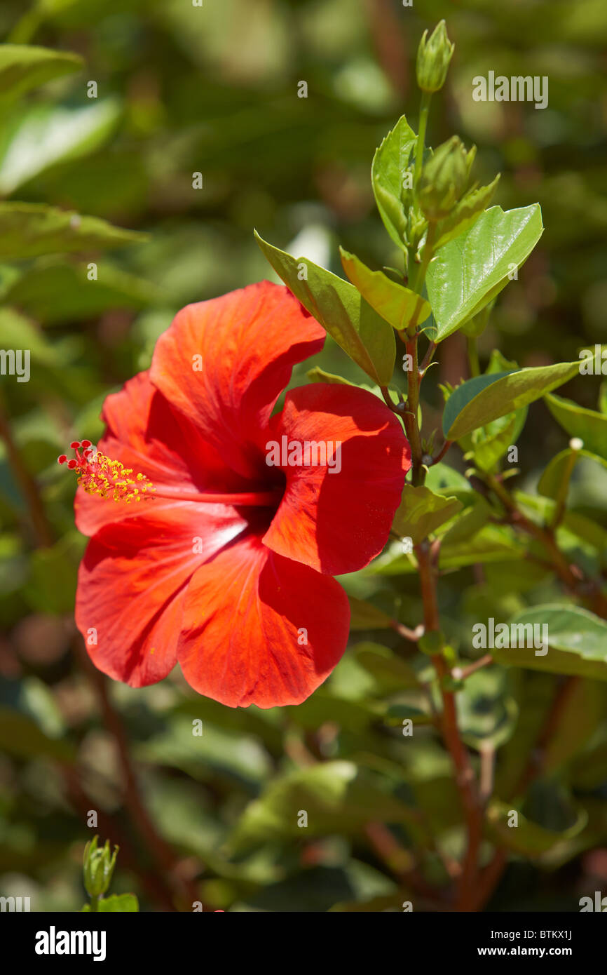 Rosa sinensis stock photos rosa sinensis stock images alamy chinese hibiscus flower scientific name hibiscus rosa sinensis crete greece izmirmasajfo Image collections
