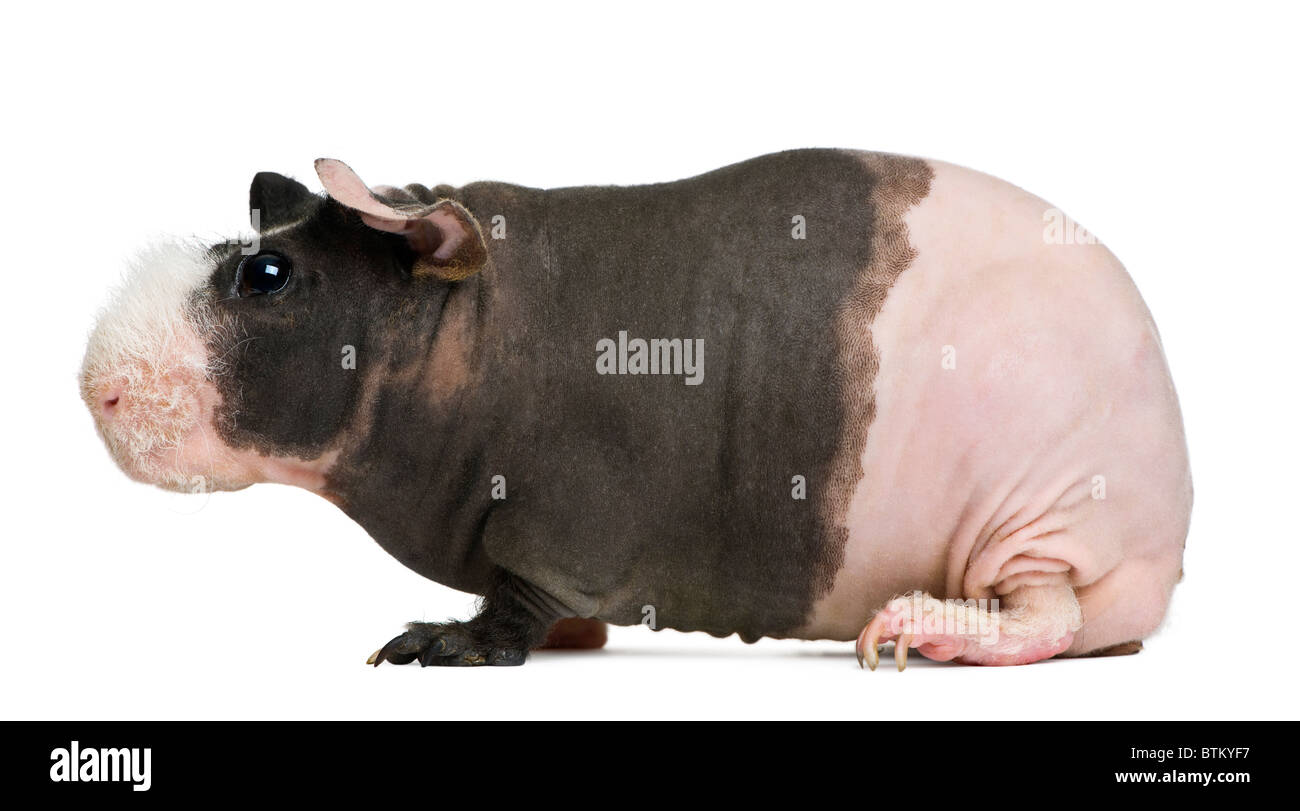 Hairless Guinea Pig in front of white background - Stock Image