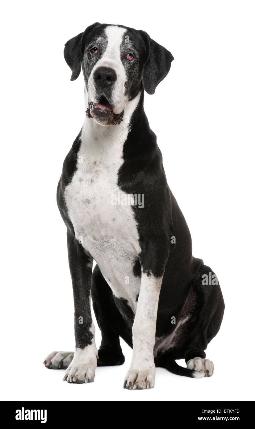 Great Dane, 7 years old, sitting in front of white background - Stock Image