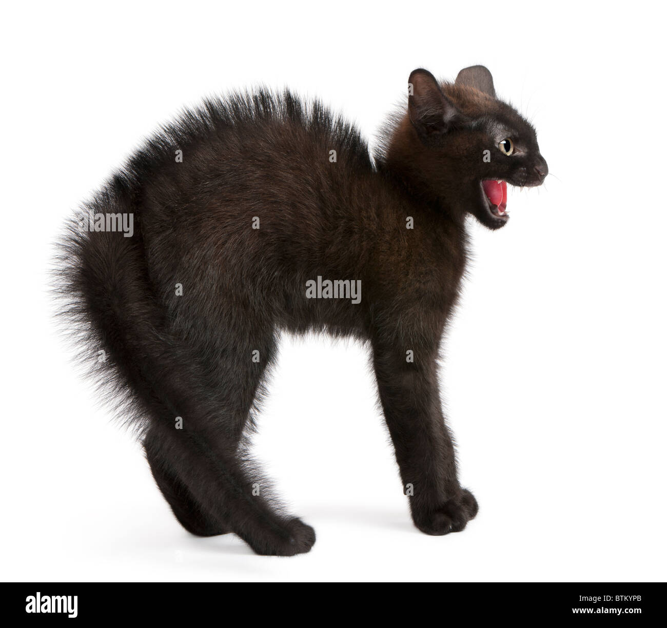 Frightened black kitten standing in front of white background - Stock Image