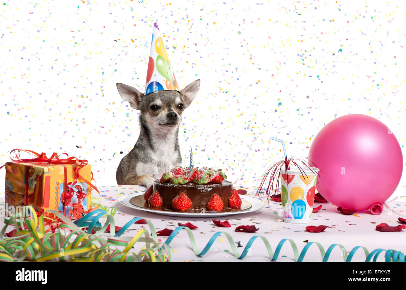 Sensational Chihuahua At Table Wearing Birthday Hat And Looking At Birthday Funny Birthday Cards Online Unhofree Goldxyz