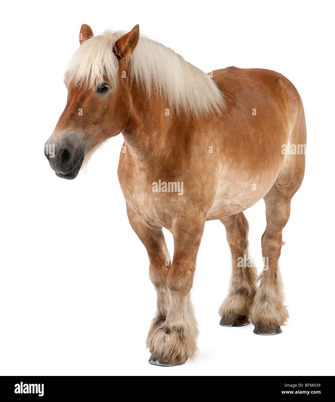Belgian horse, Belgian Heavy Horse, Brabancon, a draft horse breed, 10 years old, standing in front of white background - Stock Image