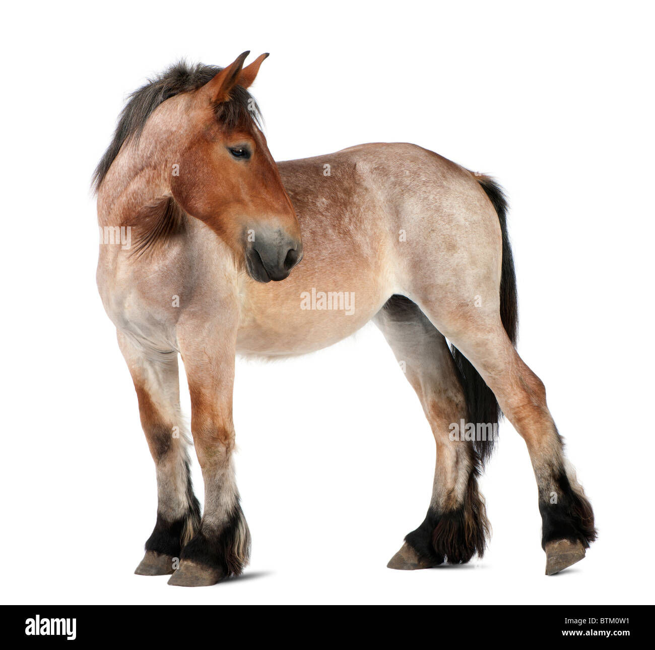Belgian Heavy Horse foal, Brabancon, a draft horse breed, 13 months old, standing in front of white background - Stock Image
