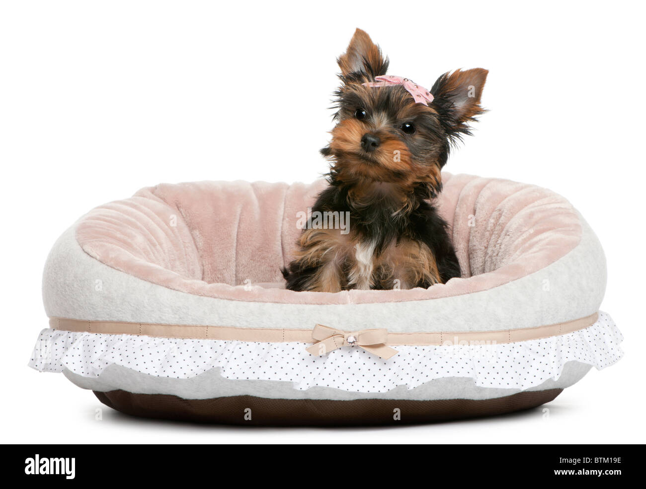 Yorkshire Terrier puppy, 2 months old, sitting in front of white background - Stock Image