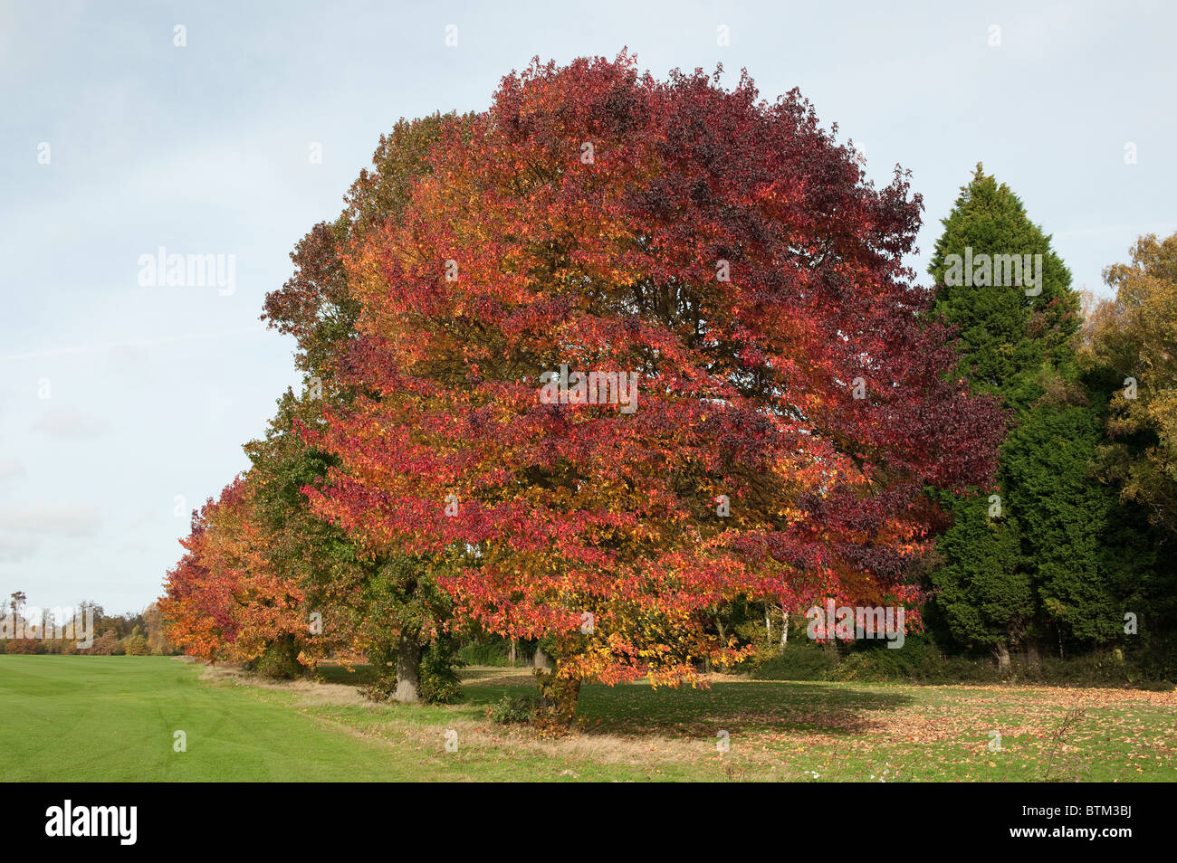 Avenue of Trees in Autumn Colours at Smith's Lawn, Savill Gardens, Windsor, Berkshire-3 - Stock Image