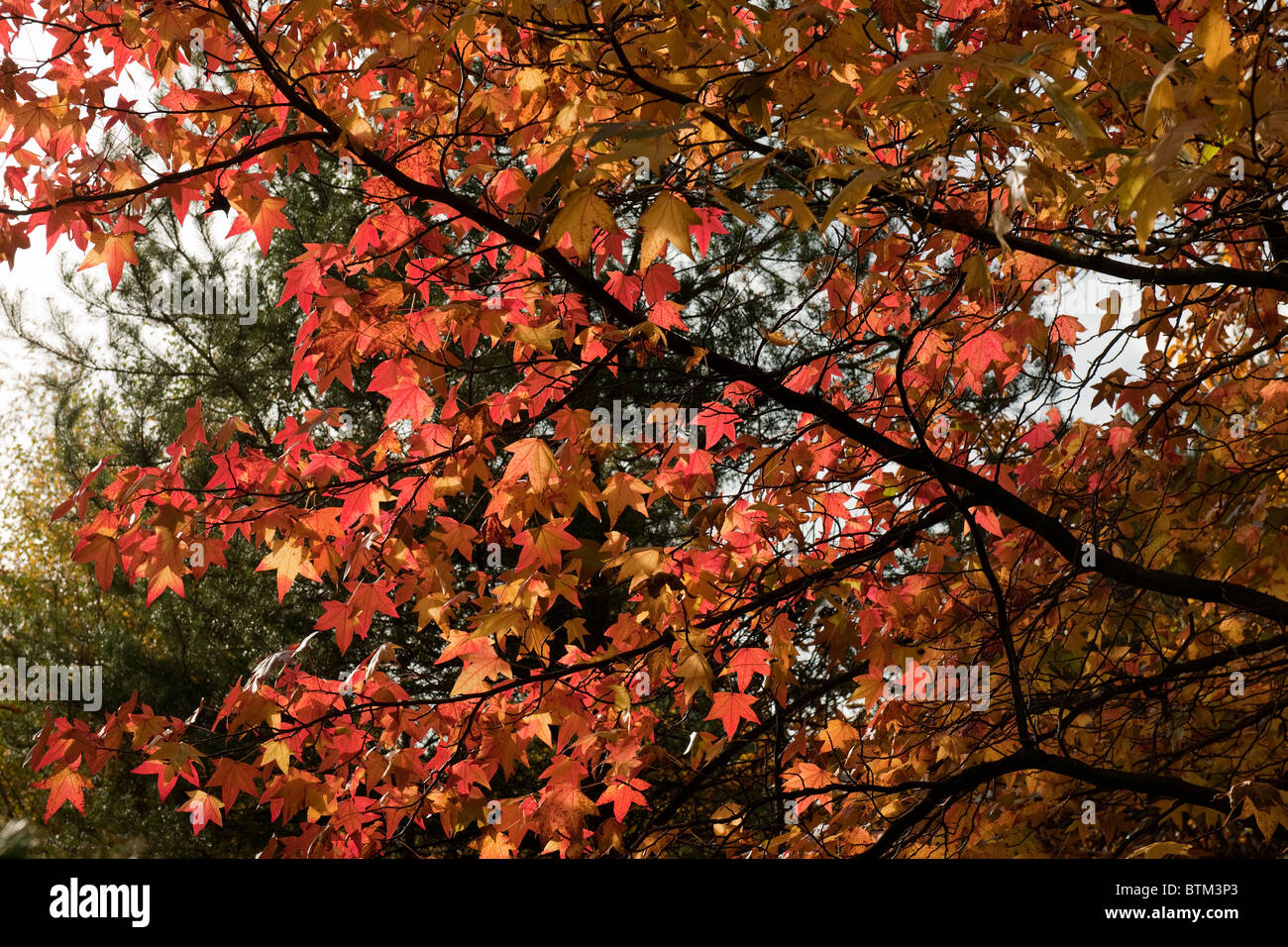 Autumn Colours in Savill Gardens, Windsor, Berkshire-1 - Stock Image