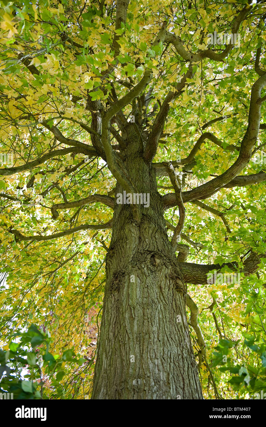 Tree trunk and branches with leaves in Savill Gardens, Windsor, Berkshire-1 - Stock Image