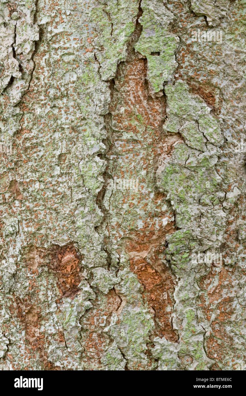 Keyaki or Japanese Zelkova (Zelkova serrata) close-up of the bark Cambridgeshire garden England UK Europe - Stock Image