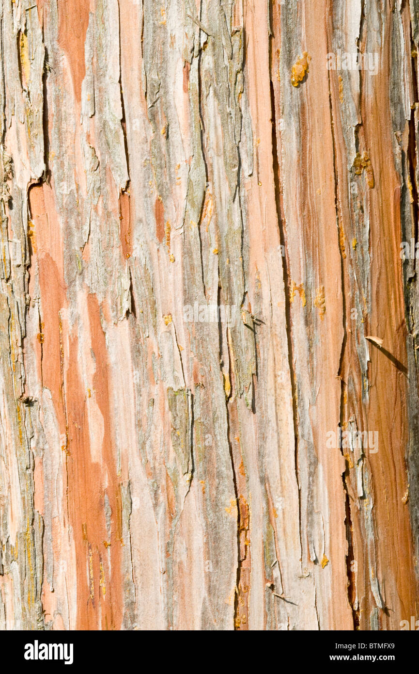 Nootka Cypress (Chamaecyparis nootkatensis) close-up of the bark Cambridgeshire garden England UK Europe - Stock Image