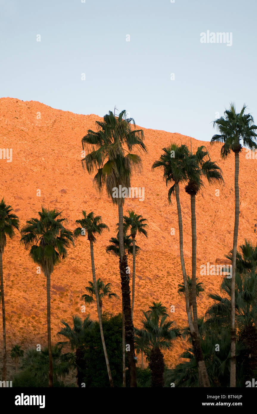 Palm trees at sunrise in Palm Springs Southern California United States - Stock Image
